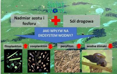 Połączenie eutrofizacji i wzrost zasolenia ze stosowania soli drogowej ograniczają liczbę zooplankotnu i wodnych ślimaków, co powoduje wzrost liczby fitoplankotnu, w tym sinice i perfyfitonu